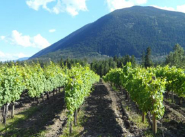 Tons of grapevines to be seen on a wine tasting tour through the Kamloops Thompson Shuswap region at Tastefull Excursions